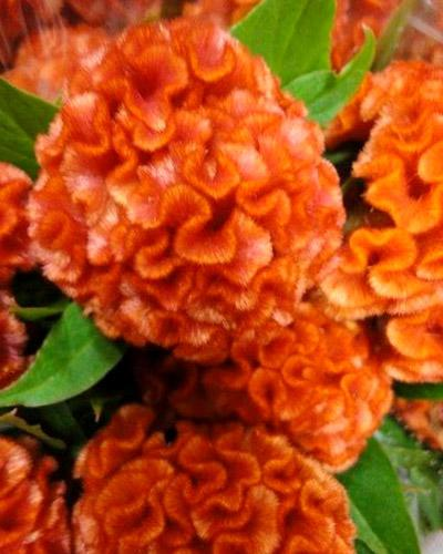 Celosie Chief orange - CELOSIA CRISTATA