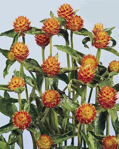 Gomphrena Haageana orange - GOMPHRENA HAAGEANNA