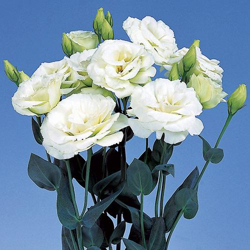 Lisianthus Excalibur green - EUSTOMA GRANDIFLORUM