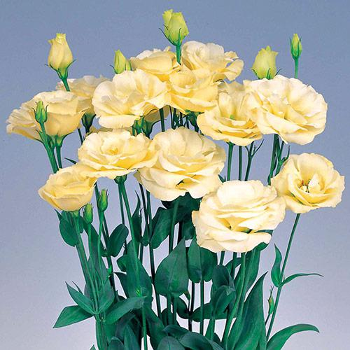 Lisianthus Excalibur yellow - EUSTOMA GRANDIFLORUM